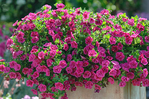Calibrachoa SUPERBELLS Double Magenta