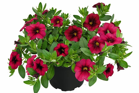 Calibrachoa Unique Magenta