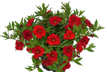 Calibrachoa Unique Red