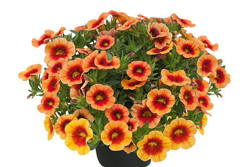 Calibrachoa POCKET Apricot Eye