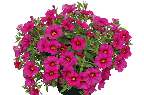 Calibrachoa Unique Dark Pink