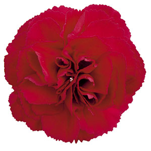 Dianthus Devon Cottage Dark Red