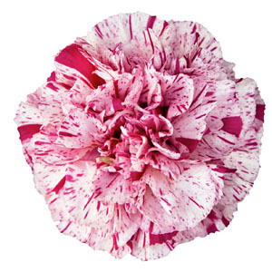 Dianthus Devon Cottage Pineball Wizard