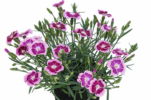 Dianthus Big Touch