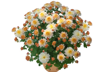 Chrysanthemum Yahou Friends Eden Salmon