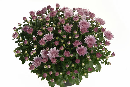 Chrysanthemum Yahou Friends Essor