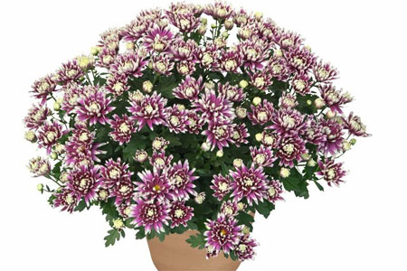 Chrysanthemum Yahou Friends Jokey