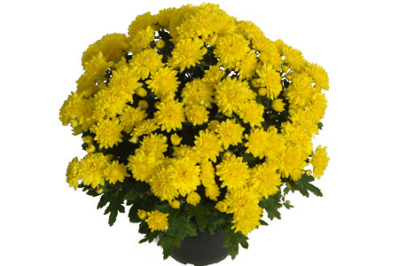 Chrysanthemum Yahou Friends Piton