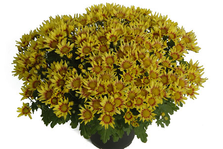 Chrysanthemum Yahou Friends Tilou Red