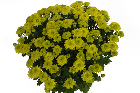 Chrysanthemum Yahou Friends Twiny