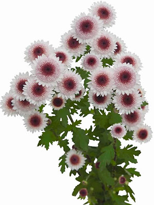 Schnitt-Chrysanthemum 'Sweetheart'