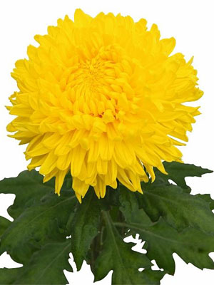 Schnitt-Chrysanthemum 'Yellow Wonder'