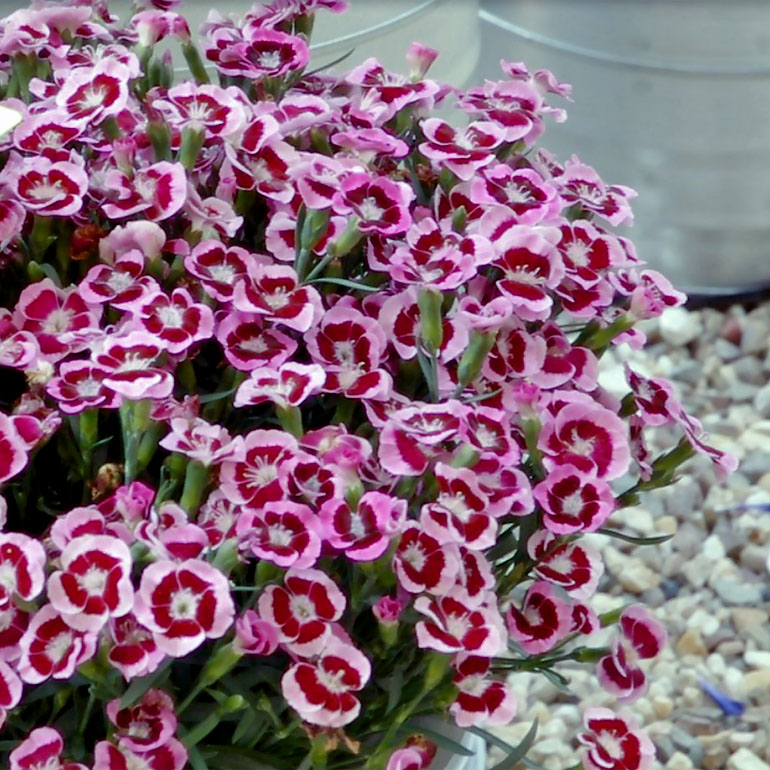 Dianthus Touch