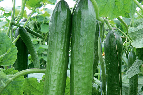 Vegetable Plants: Cucumis sativus  Magnum