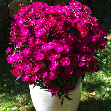 Dianthus Summer Diamonds Magenta