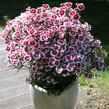 Dianthus Summer Ruby Picotee