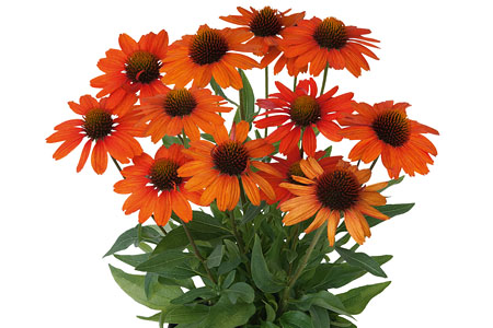 Echinacea Kismet Intense Orange