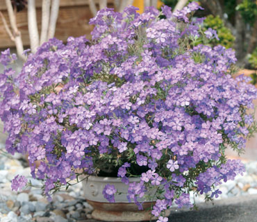 Phlox Summerstars