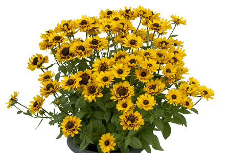 Rudbeckia Giggeling Smiley