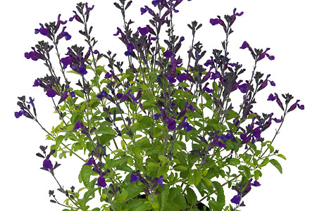 Salvia Ignition Purple