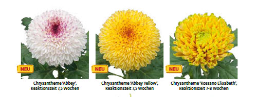 Index de Chrysanthemum coupé